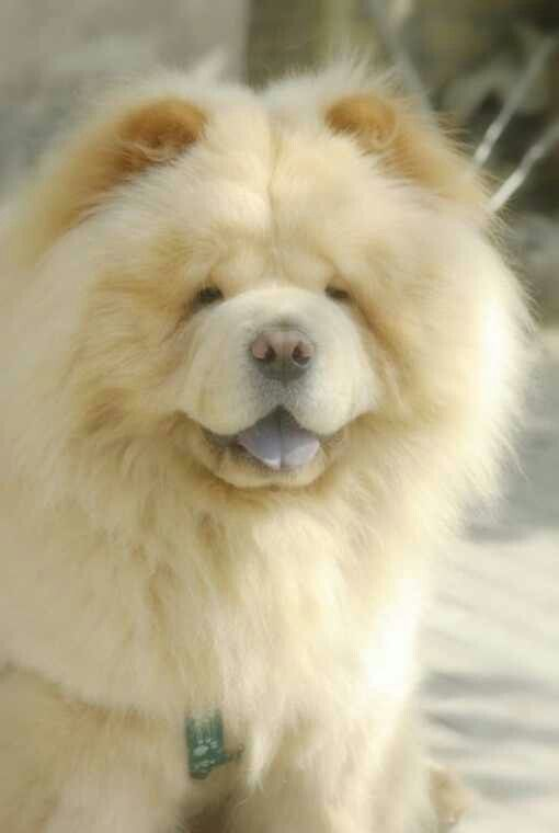 Chows Have Received An Undue Reputation For Being Unpredictable Or