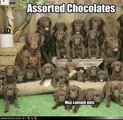 Life Is Like A Box Of Chocolates Cute Animals Animals Lab Puppies