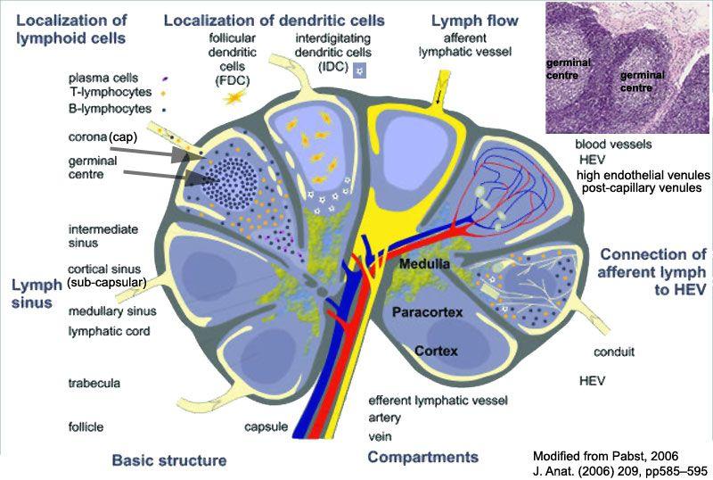Extensive Diagram Of Lymph Nodes - Block And Schematic Diagrams •
