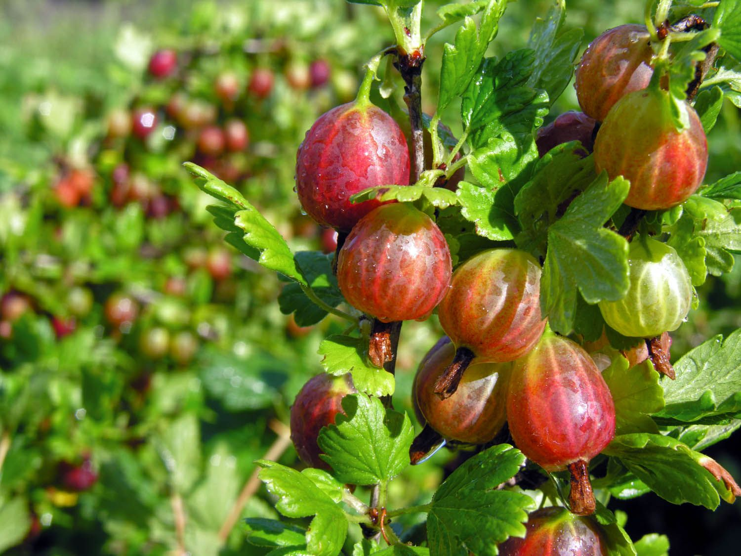 15 Lesser Known Berries You Should Try Gooseberry Plant Berry
