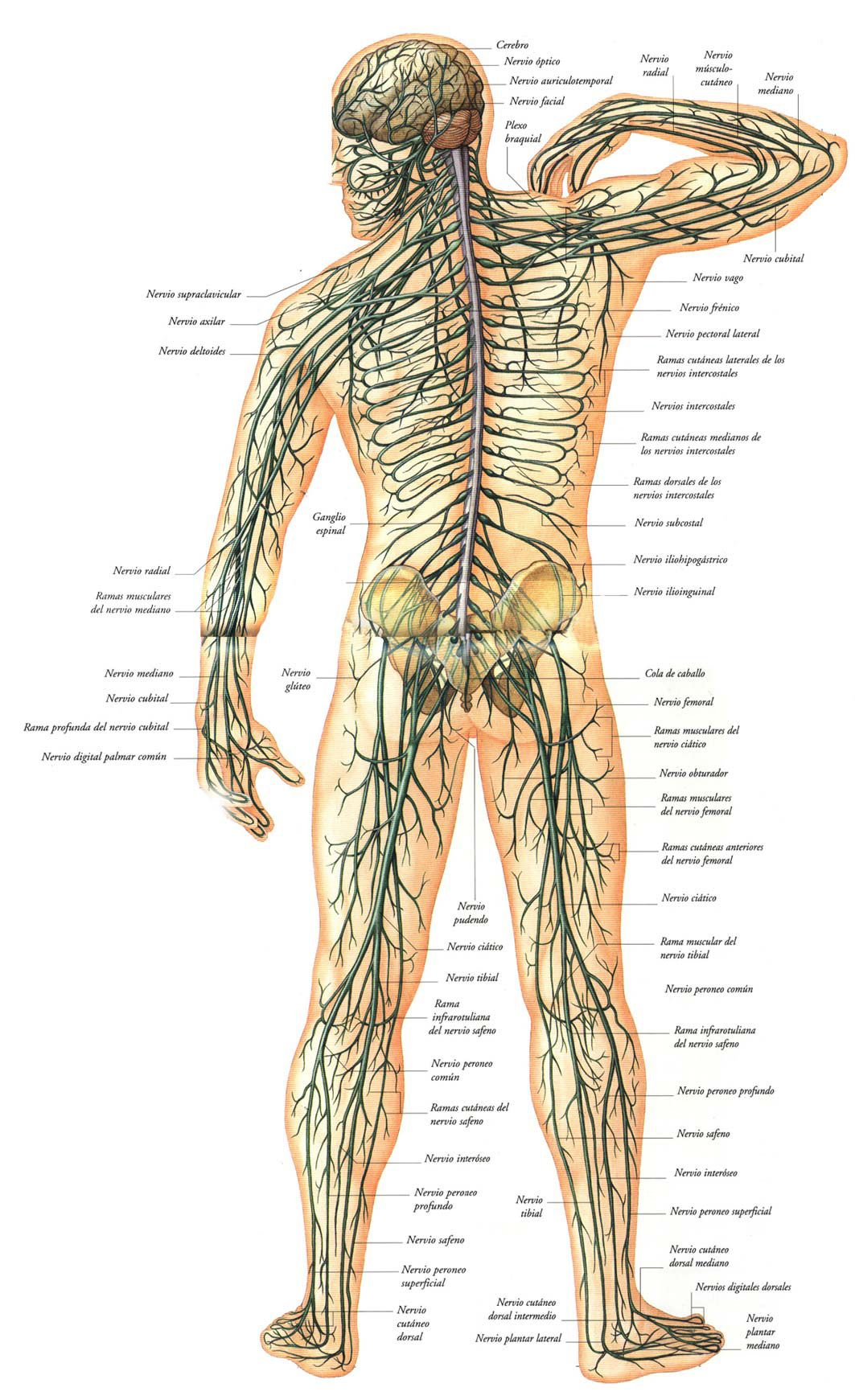 Sistema Nervioso, Noi Group y Twitter | Neuro | Pinterest | Sistema ...