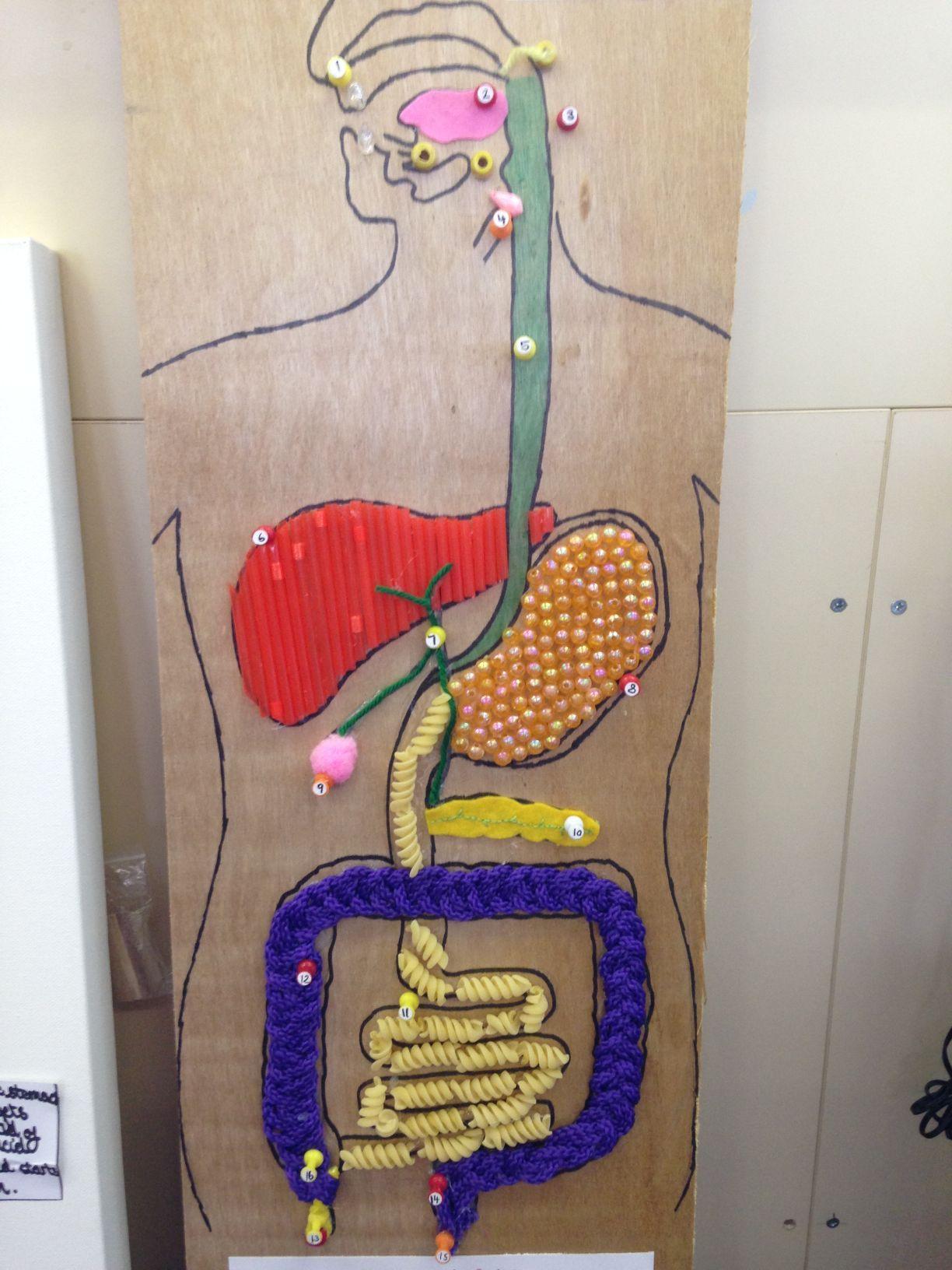 Image result for digestive system model | Digestive system ...