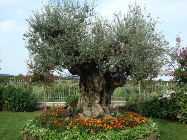 Risultati immagini per progettazione aiuola olivo - Giardino con ulivo ...