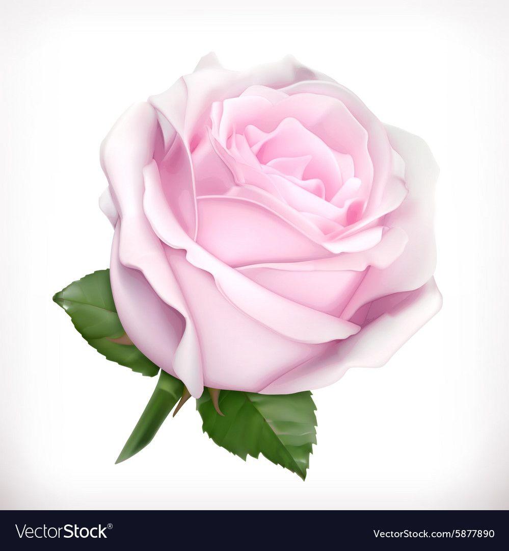 Pin By Irina Kovalchuk On Fleurs Pink Rose Png White Rose Png Rose Flower Wallpaper