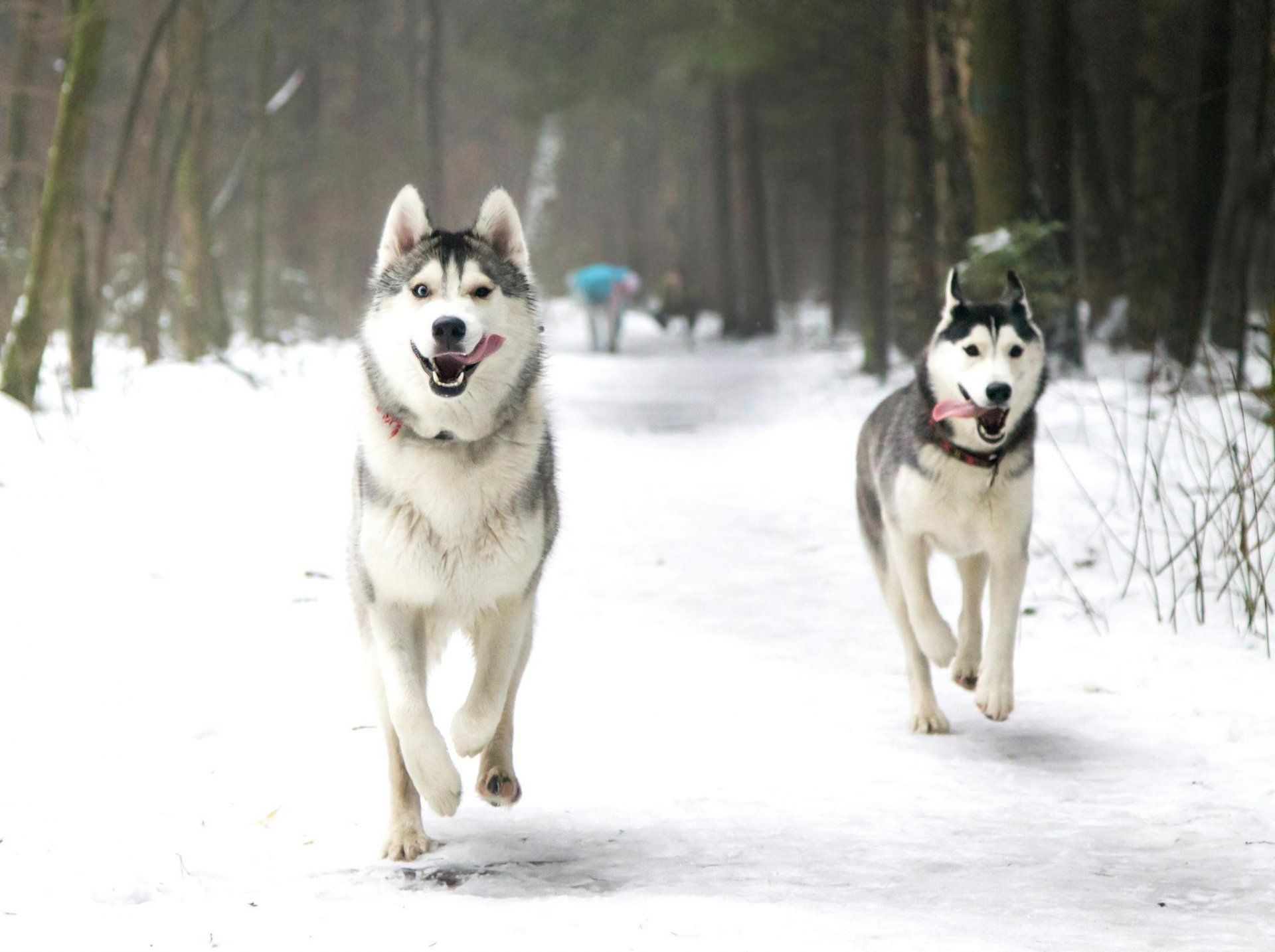 Dogs Husky Laika Winter Snow Park Running English Hd Wallpaper