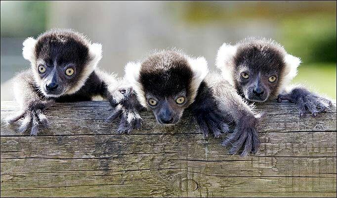 baby lemur for sale?