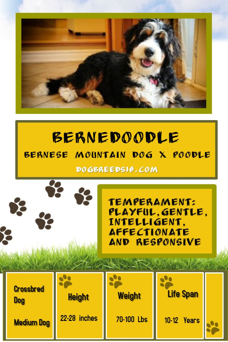 The Bernedoodle Is A Cross Between Bernese Mountain Dog And