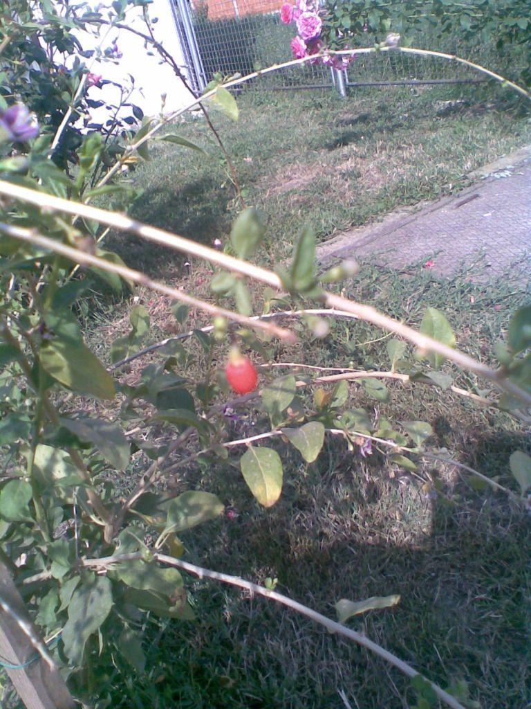 Sazrijeva moj prvi goji !!!!!  Eee, to je vijest!!!  Unatoč suši, i zahvaljujući  mojoj bespoštednoj borbi s komarcima koji me napadaju iz zasjede u rojevima dok grabim vodu za zalijevanje iz vrtnog jezerca - isplatilo se!Još par komada koji počinju crvenjeti (molim zanemariti sjenu na slici, to viri moje klempavo uho  )Ima još novosti (vi´š kako se isplati šokačka upornost ) - imam ljute papričice!!