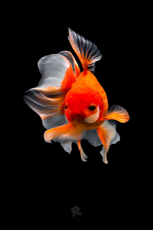 Tsubaki Chinese Goldfish Goldfish Art Goldfish Pretty Fish