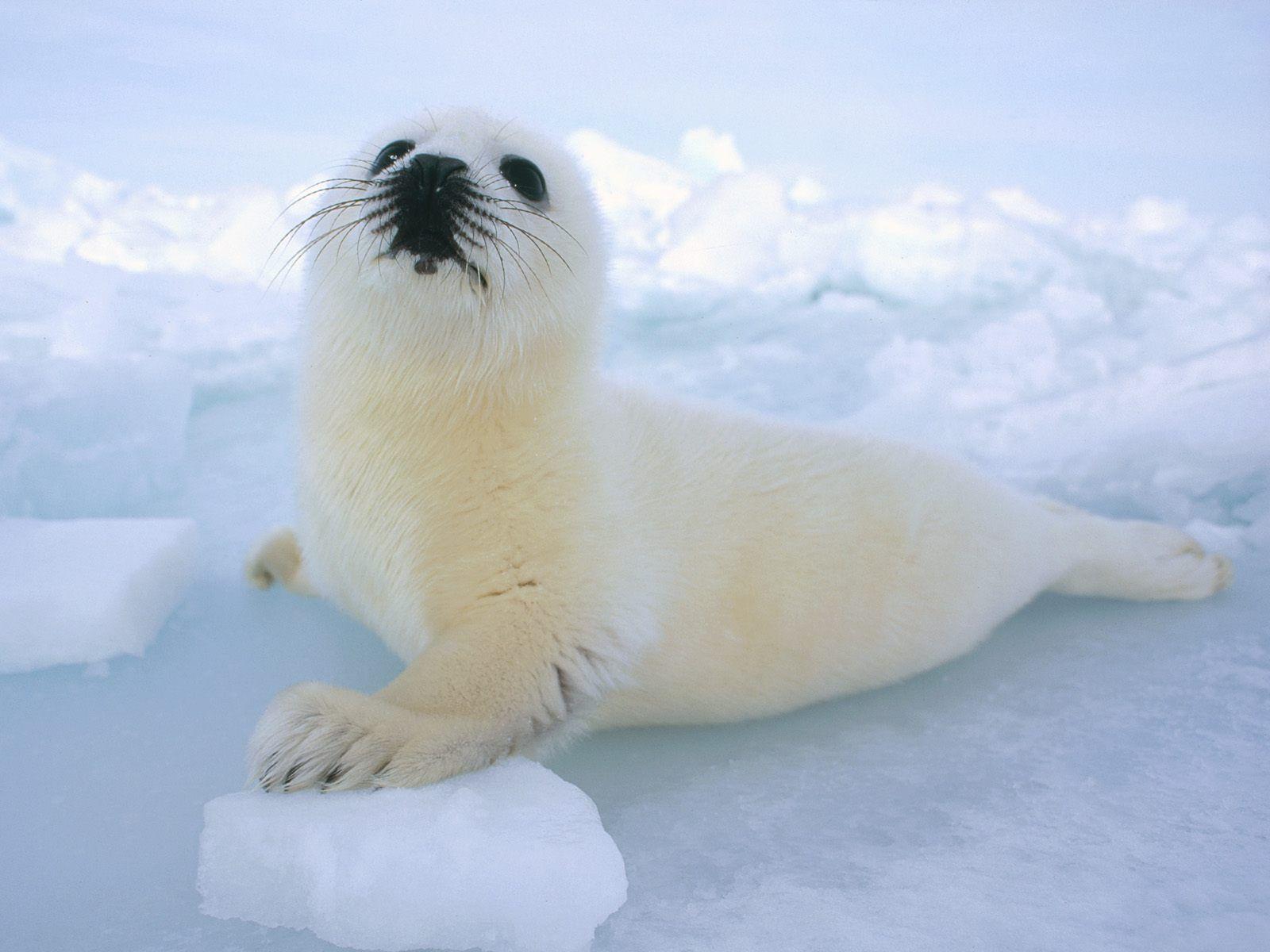 White Baby Harp Seal