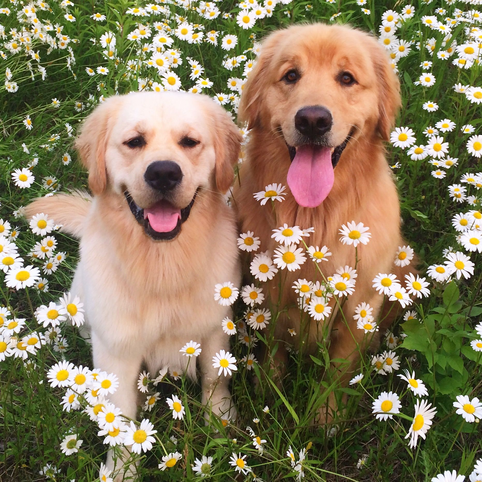 Golden Retrievers In A Field Of Asters Mini Daisies Dogs