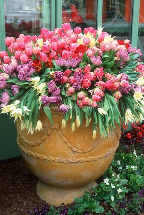Extra large container overflowing with tulips