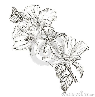 Dessin hibiscus fleur la main coloriages pinterest hibiscus drawing flower drawings and - Dessin hibiscus ...
