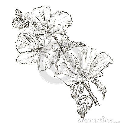Dessin hibiscus fleur la main aquarelle dessin - Dessin d hibiscus ...