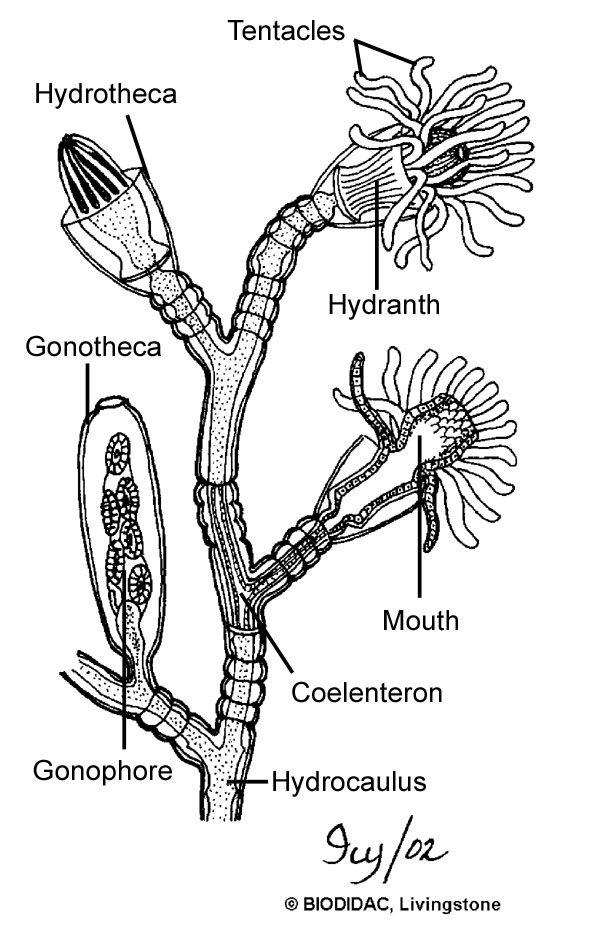 hydrozoa diagram   Diarra