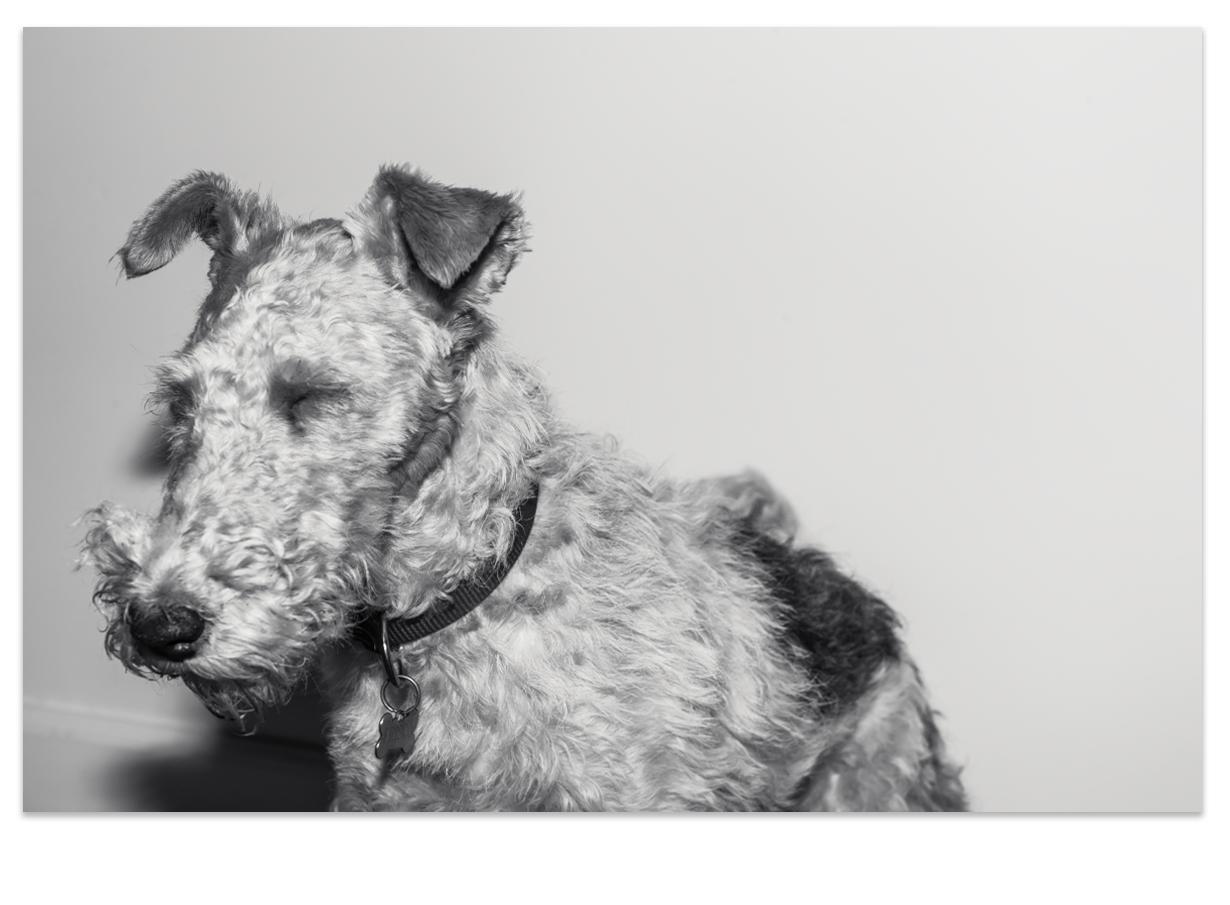 Frisco, my wire fox terrier | Airedale terrier | Pinterest | Wire ...