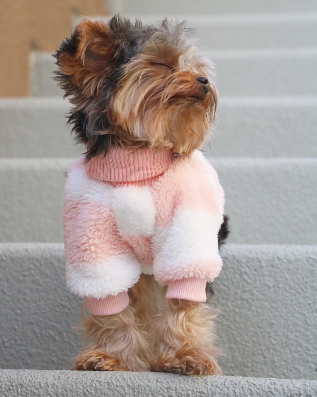 4 135 Likes 127 Comments Napa The Yorkie Napatheyorkie On Instagram When It S Sweater Weather Yorkshire Terrier Puppies Yorkie Puppy Yorkshire Terrier