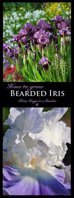 Three Dogs In A Garden How To Grow Bearded Iris Summer Bloom Bearded Iris Growing Irises Iris Garden