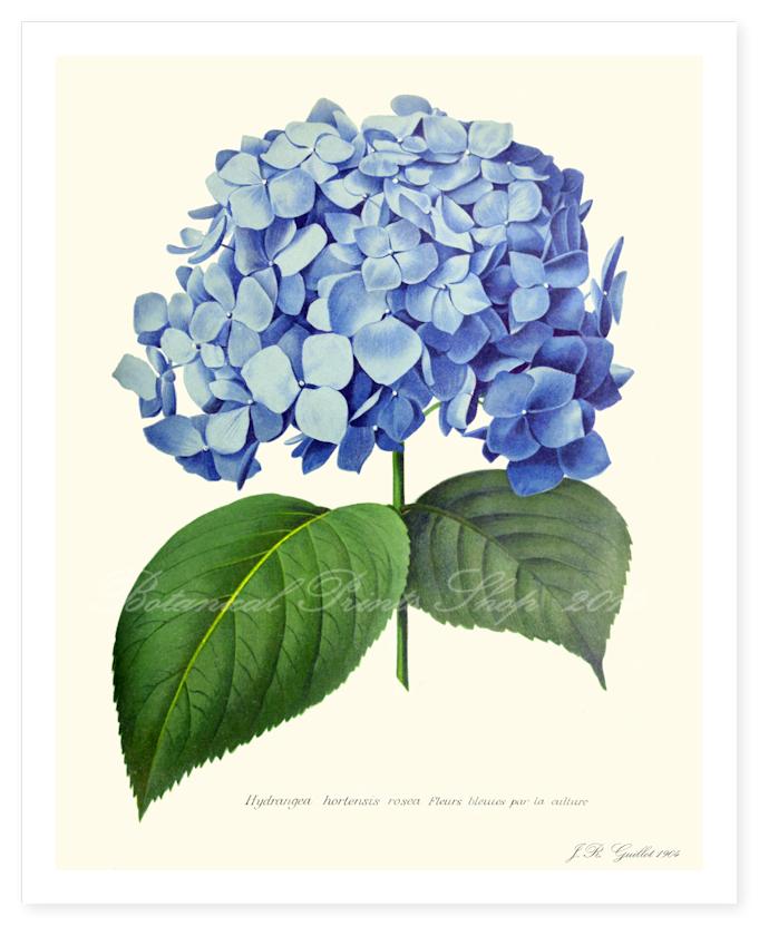 Blue Hydrangea Flower Prints Art Flower Illustration Flower Clipart