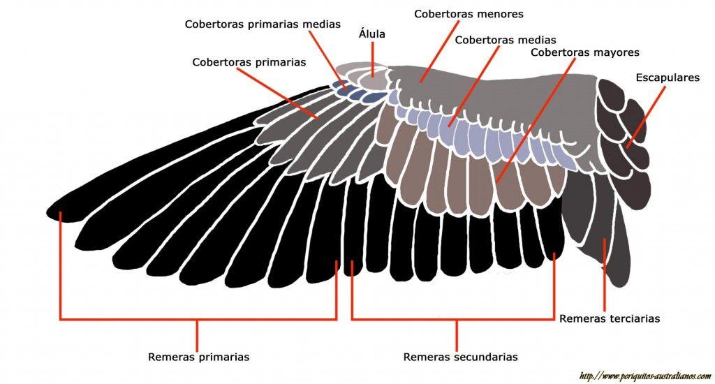 Distribución de las plumas en una ala de pajaro | ilustracion ...