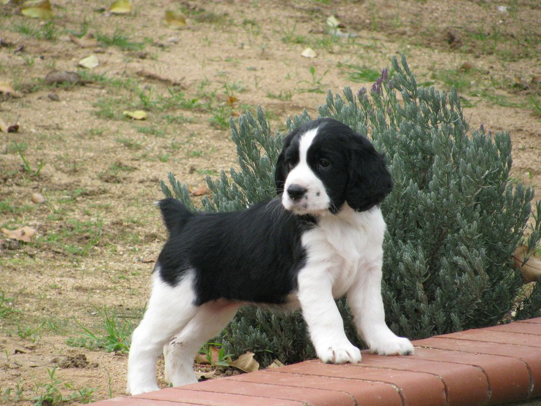 Past Litters Starshine Springer Spaniels And Maltese Brittany Dog Puppies And Kitties Springer Spaniel Puppies