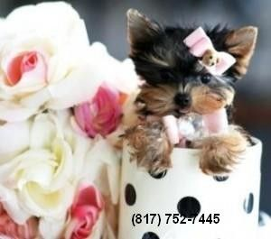 Teacup Yorkie Puppy For Sale East Lansing Mi Asnclassifieds Teacup Yorkie Puppy Yorkie Puppy For Sale Yorkie Puppy