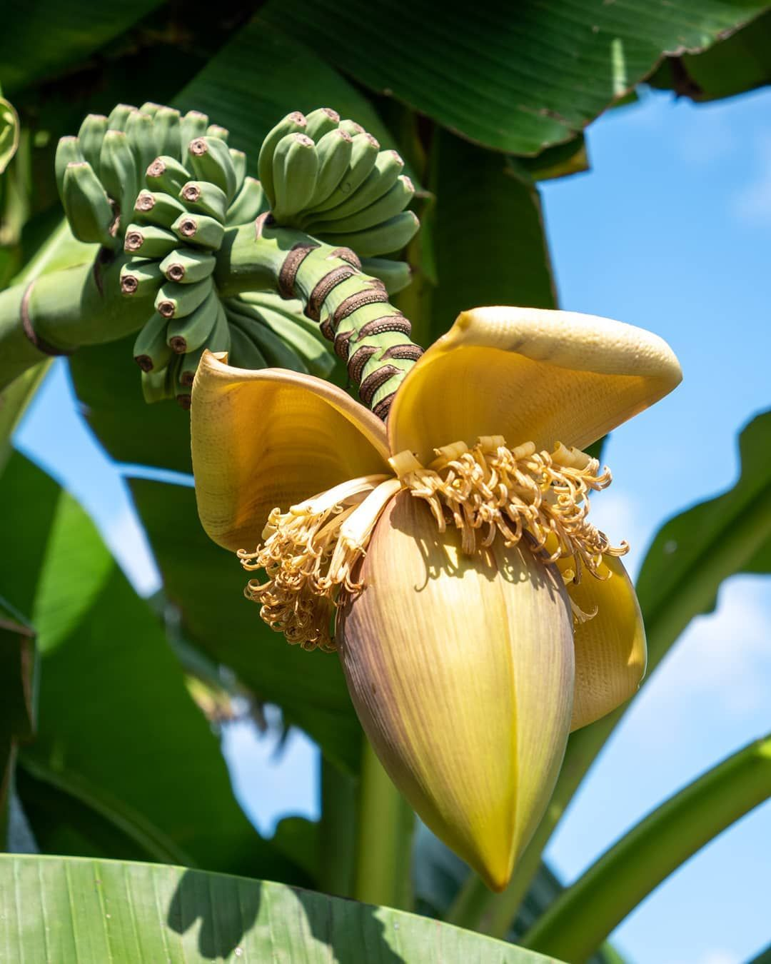 Musa basjoo termése