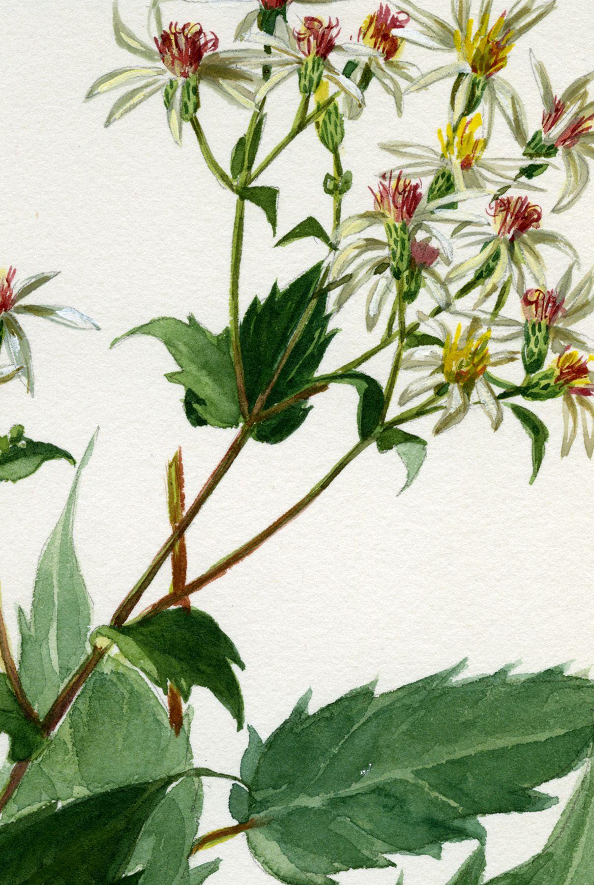 Harvard University Herbaria - Botany Libraries Archives Botanical Illustrations