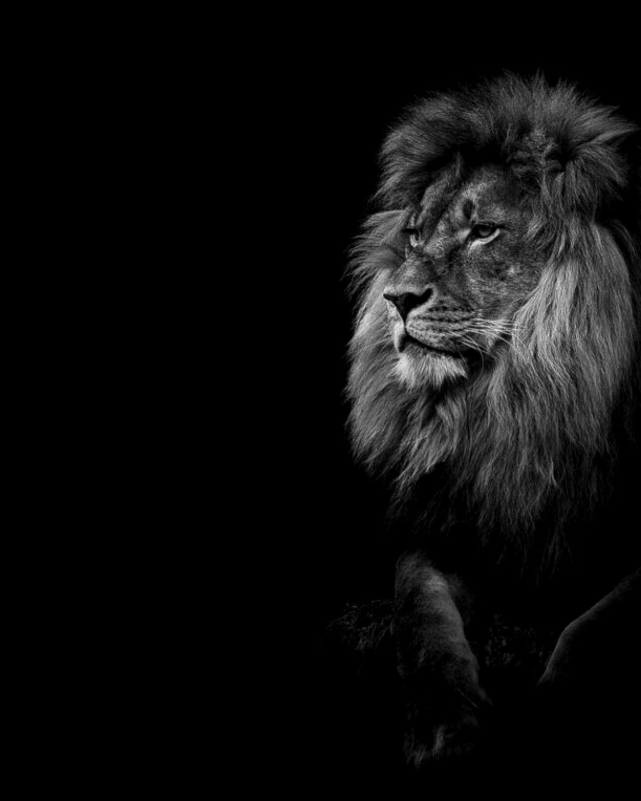 Lion Dark Wallpaper Wild Animal Wallpaper Dark Black Wallpaper Wild Lion