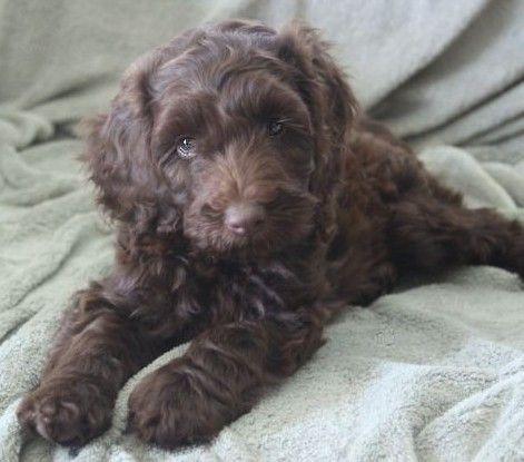 The Top 100 Labradoodle Websites Labradoodle Puppy Labradoodle Puppies For Sale Labradoodle
