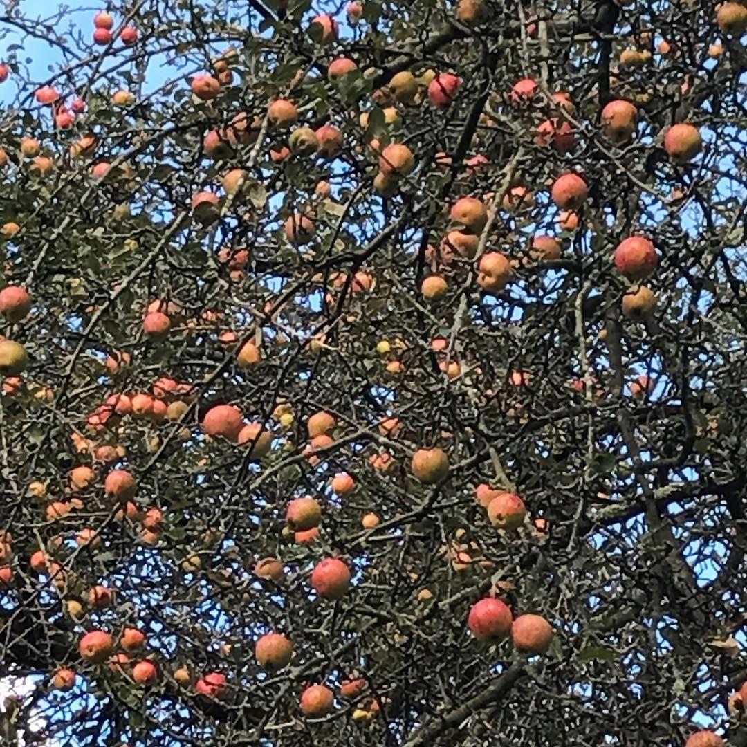 Apple tree autumn bluesky sharptastingapples might be crab