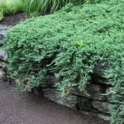 Juniper Blue Rug Evergreen Landscape Conifer Plants Garden Shrubs