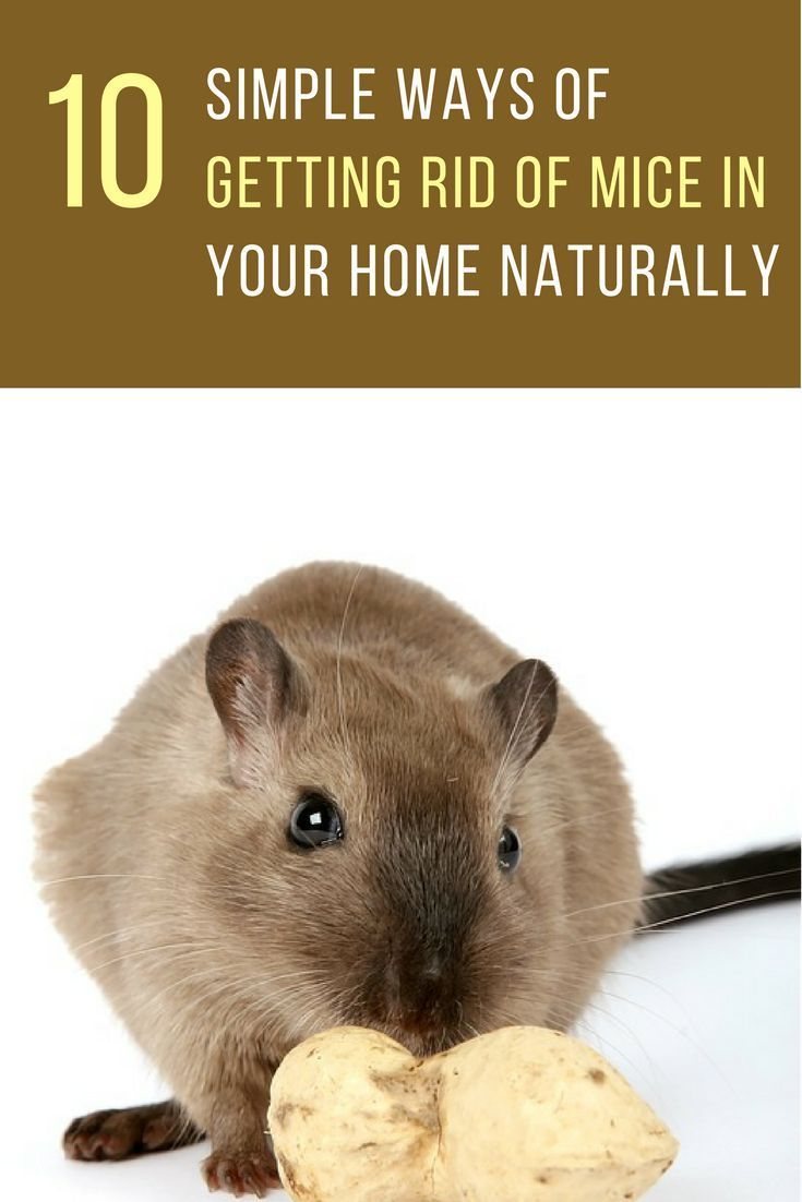 10 simple ways to get rid of mice naturally in your home