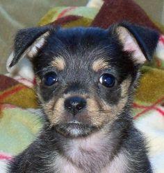 Adopt Marnie On Yorkie Dogs Terrier Yorkie