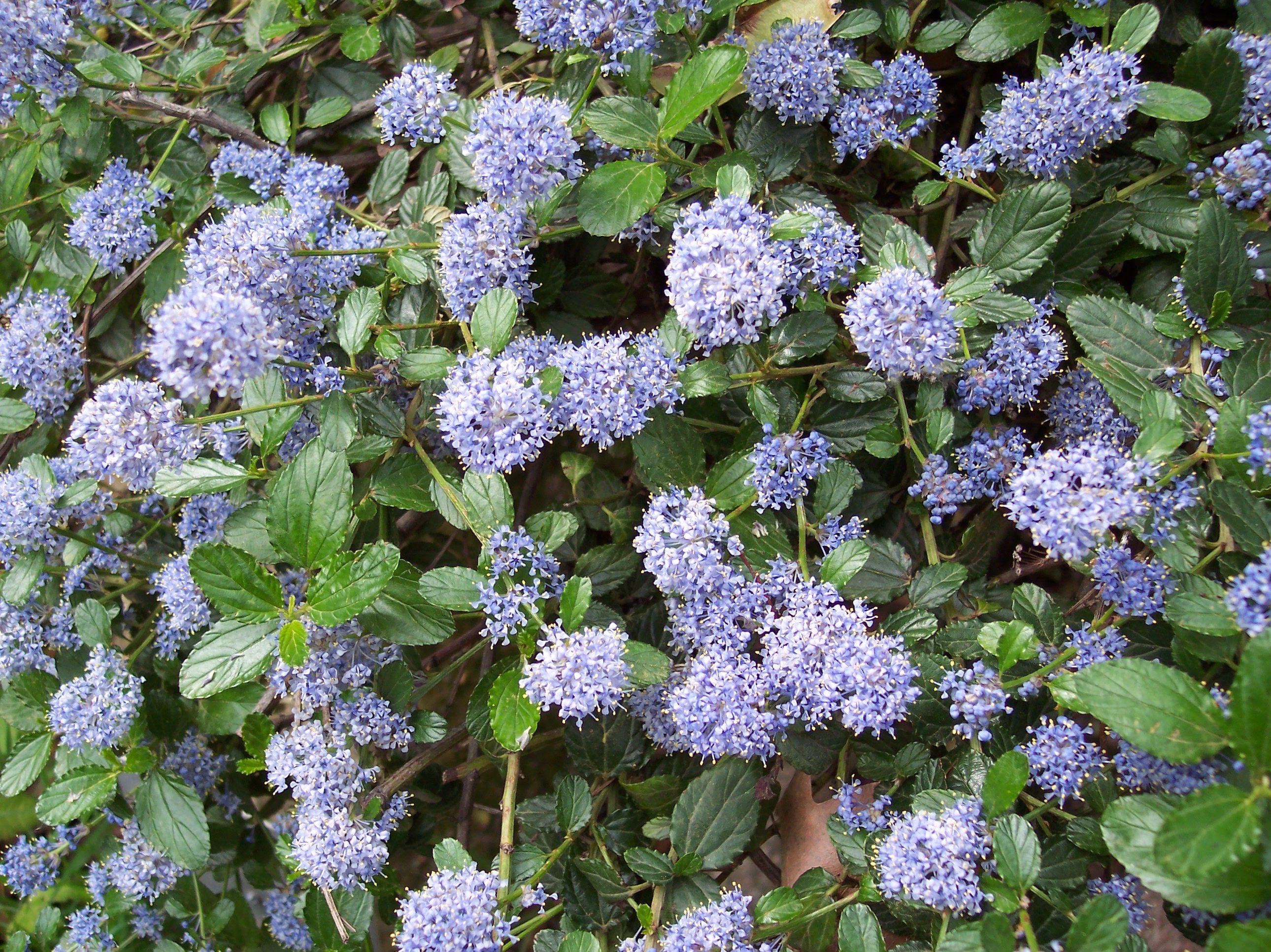 ceanothus thyrsiflorus 'repens', floraison bleu en mai | arbustes