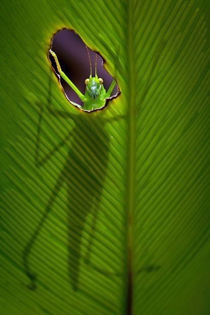 Hungry Grasshopper Creates A Window On The World Macro