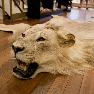 Lion rug. Office IdeasLionHunting