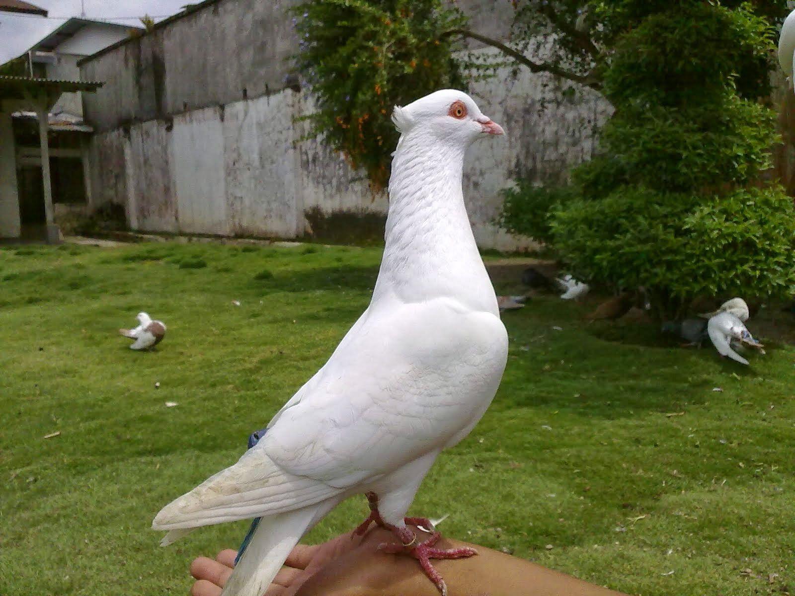 Burung Merpati Merpati Burung