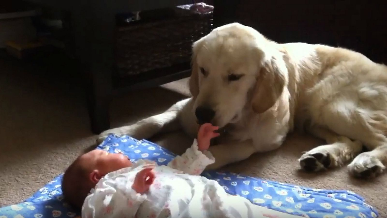 8MonthOld Golden Retriever Puppy Babysits Newborn Baby