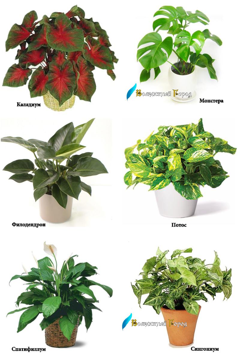 Цветы все комнатные растения в картинках с названиями
