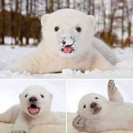 Polar near cub