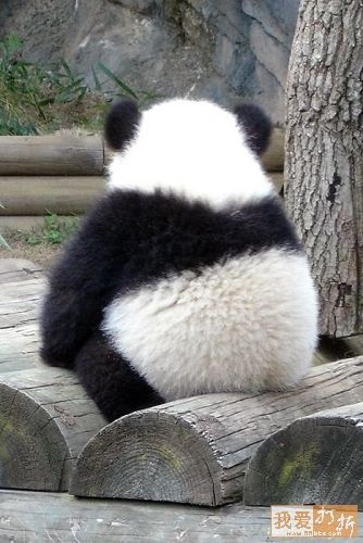Fotografía oso panda de espalda   [5-7-17]