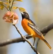 Attracting Bright Orange Birds To Your Feeder For Eye Popping Color It S Hard To Beat Baltimore Orioles Missouri Missouri Birds Orange Bird Backyard Birds