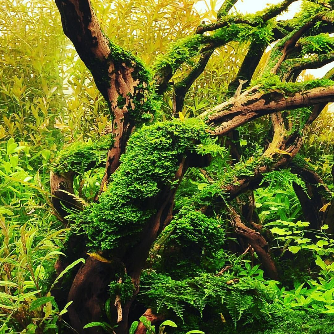 Simon's Aquascape Blog. Moss On Driftwood