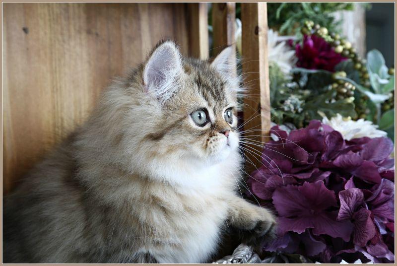 Autumn Golden Chinchilla Persian Kitten For Sale Persian Kittens For Sale Persian Kittens Kitten For Sale