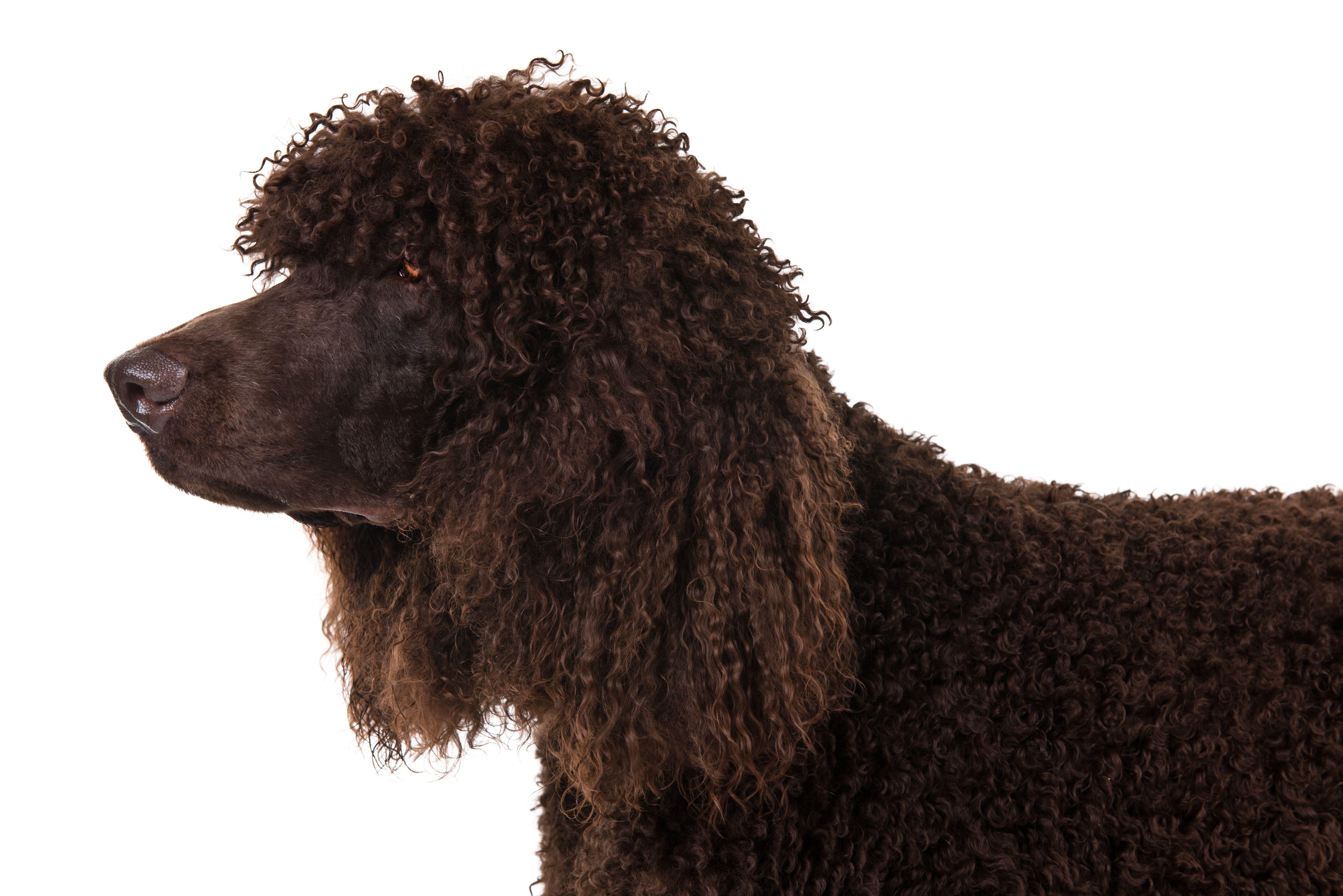 Irish Water Spaniel Dog Breed Information in 2021 | Irish ...