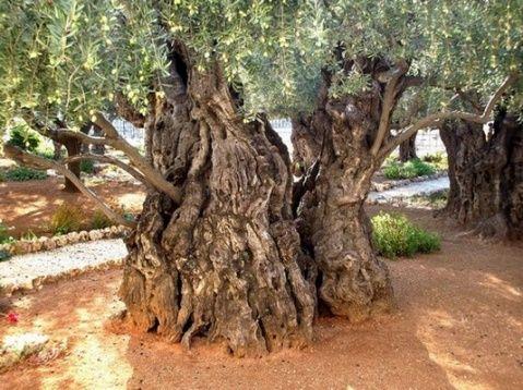 Mount Of Olives Jerusalem Olive Tree Garden Of Gethsemane Unique Trees