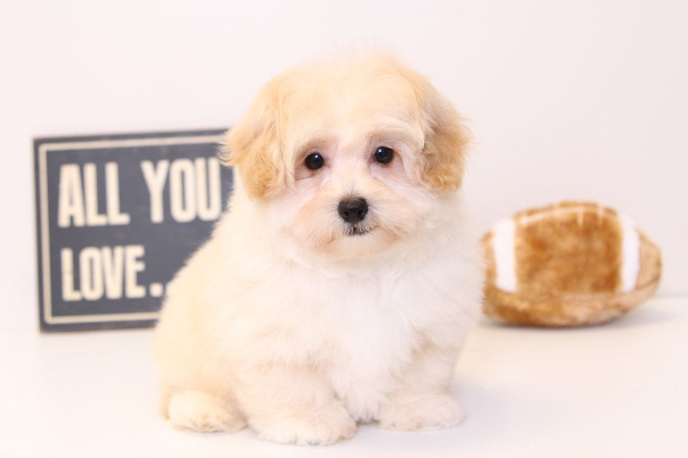 Patrick Malti Poo Puppies For Sale Click On My Picture To See