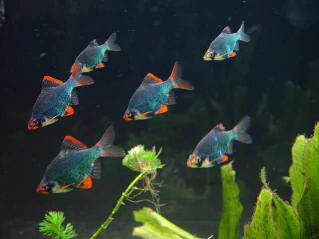 Green Tiger Barbs Puntius Tetrazona Tropical Fish Aquarium Fish Tank Tropical Fish Aquarium