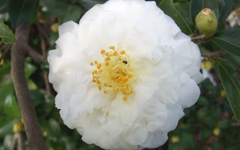 Mine No Yuki Camellia Sasanqua Fragrant Flowers Buy Plants Online Buy Plants